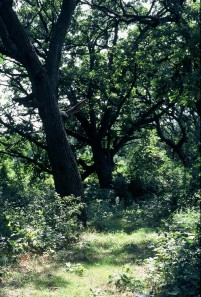 Oak Savanna