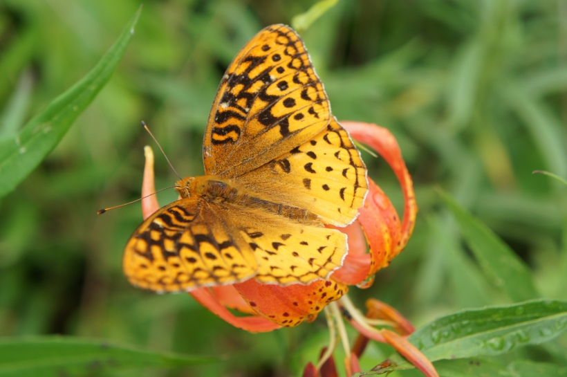 Great Spangled Fritillary on Michigan Lilly- Blue Heron Ministries