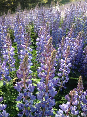 July 2016 lupine by Fred Wooley