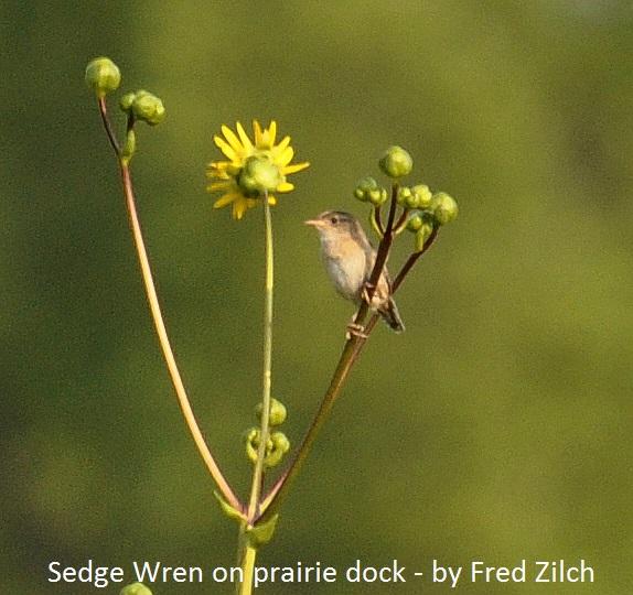 Sedge Wren 3