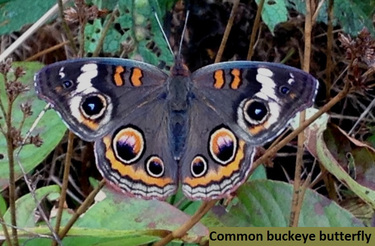common-buckeye-butterfly-3-october-2016