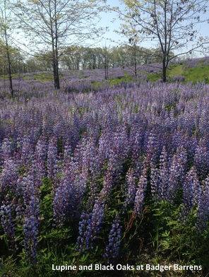 lupine-and-black-oaks-at-badger-barrens