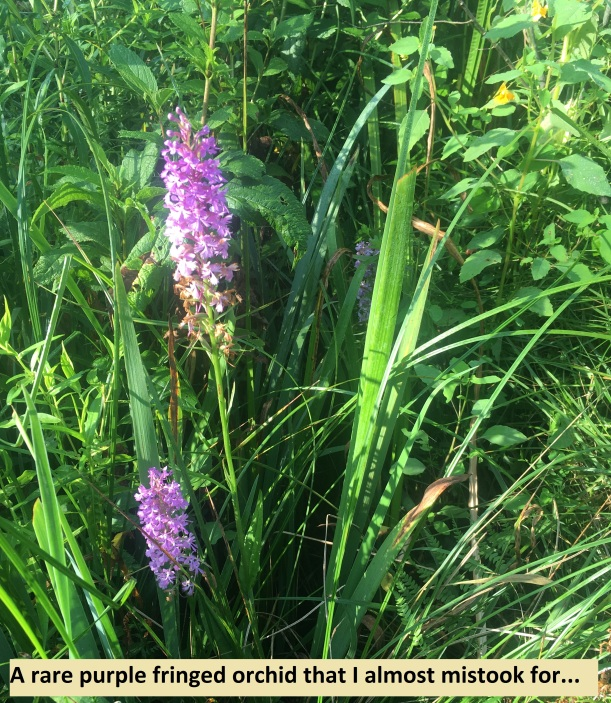 2...rare purple fringed orchid that I almost mistook for...