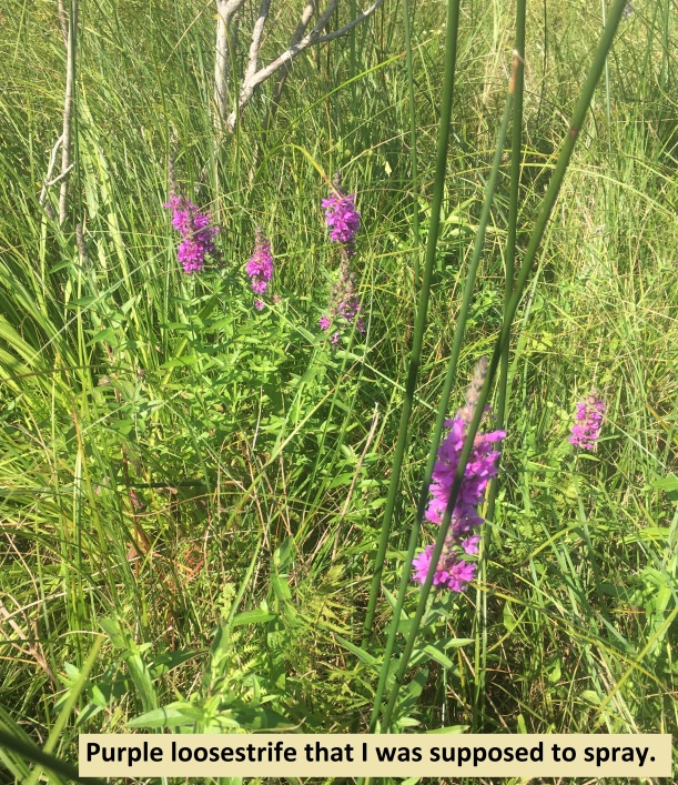 3.... purple loosestrife that I was supposed to spray.