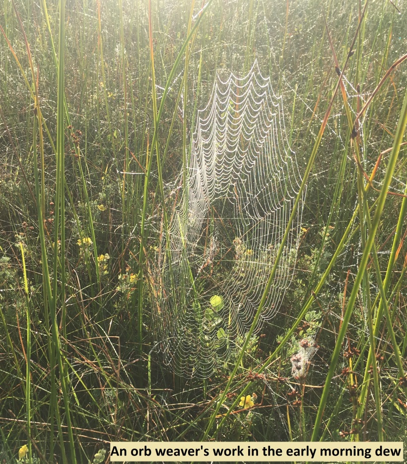 orb weaver's work in the early morning dew