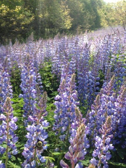 Help spread the lupines!