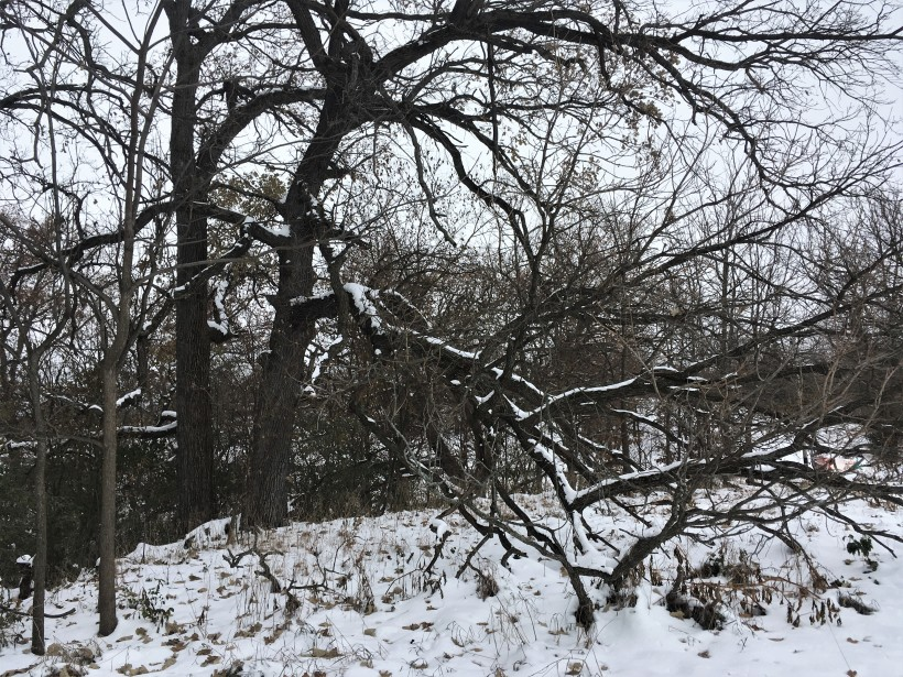 The Kauffman Farms bur oak set against this year's first snow by Nate Simons