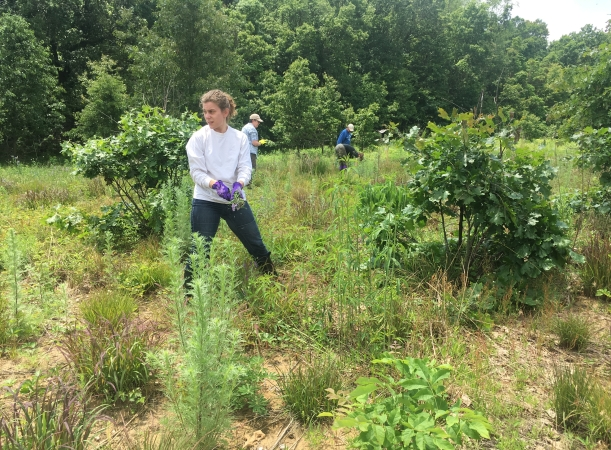 Volunteers pull the weedy hairy vetch at Badger Barrens Sanctuary