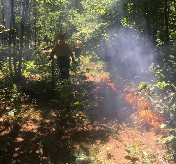 Members of the Blue Crew string fire in an oak woods in Newaygo County Michigan to stimulate Karner Blue Butterfly habitat
