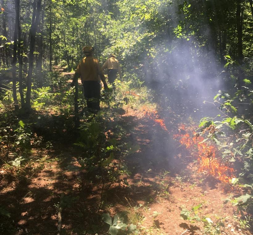 Members of the Blue Crew string fire in an oak woods in Newaygo County Michigan to stimulate Karner Blue Butterfly habitat